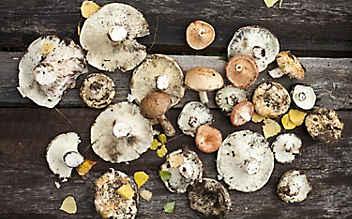 Kleine Pilzkunde für Schwammerlsucher