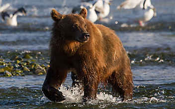 Bei Bären und Lachsen am Amur