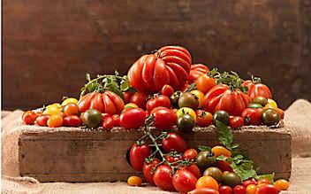 Tipps für eine reiche Tomaten-Ernte