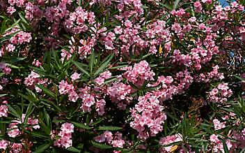 Oleander richtig überwintern