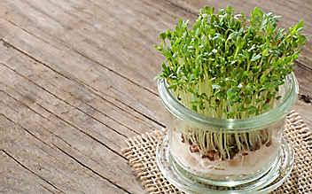 Jänner-Gartentipp Nr. 5: Gartenkresse am Fensterbrett