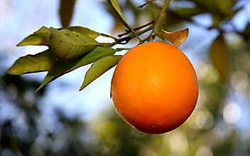Februar-Gartentipp Nr. 4: Orangenbäumchen selber ziehen