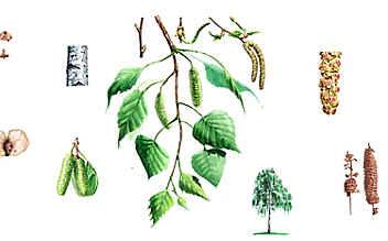 Die Birke: eine vielseitige Heilerin
