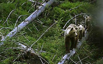 Wundern & wissen: 7 Fakten über Braunbären