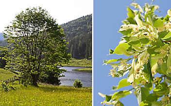 Lindenblüten beruhigen den Geist und wirken gegen Fieber