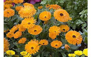 Die Ringelblume beruhigt gereizte Haut und hilft bei der Wundheilung
