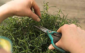 April-Gartentipp Nr. 1: Kübelpflanzen richtig schneiden