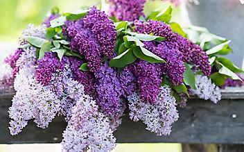 Mai-Gartentipp Nr. 4: Üppige Fliedersträuße schneiden