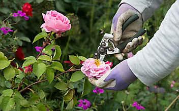 Mai-Gartentipp Nr. 5: Rosen schneiden für mehr Blüte