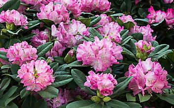 Mai-Gartentipp Nr. 6: Rhododendron in Form bringen