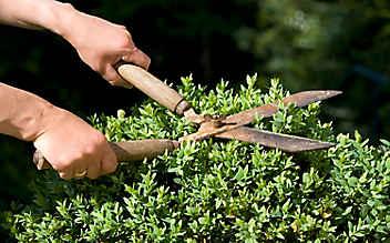 Juli-Gartentipp Nr. 2: Buchs und Liguster façonnieren