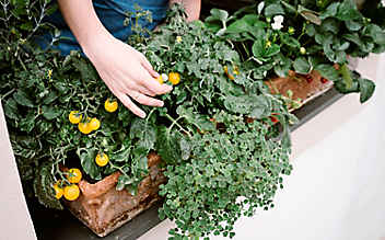 Gemüseernte am Fensterbrett