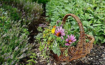 Diese Kräuter gedeihen prächtig im klassischen Bauerngarten