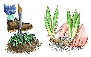 Pflanzen vermehren durch Teilung