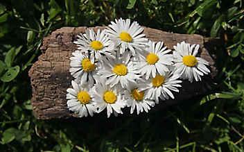 Diese Salbe aus Gänseblümchen hilft bei kleinen Blessuren