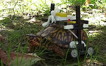 Verletzte Schildkröte mit Lego-Rollstuhl gerettet