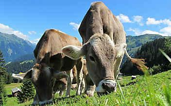 Klimaschutz: Neuartiges Futter lässt Kühe weniger furzen