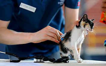 Tierquäler in Heidenreichstein unterwegs: Katze angeschossen
