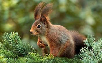 Mann aß Eichhörnchen und starb