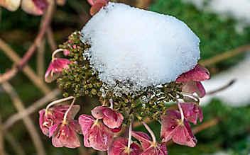 Hortensien vor Frost schützen