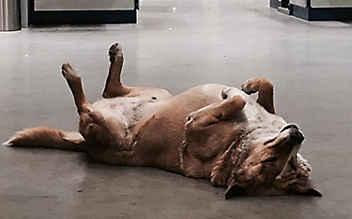 Ikea lässt Straßenhunde bei sich wohnen