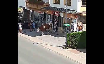 Kuh auf Shopping-Tour im Supermarkt
