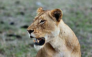 Mädchen (4) von Zirkus-Löwin schwer verletzt
