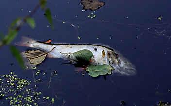 Verseuchtes Wasser in Bach geleitet: Hunderte Fische tot