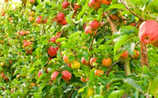 Im Apfel stecken viele Nährstoffe