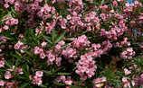 November-Gartentipp Nr. 4: Oleander überwintern