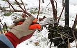Jänner-Gartentipp Nr. 2: Winterschnitt der Weinreben
