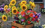 So halten Mohn- und Sonnenblumen in der Vase