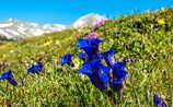 Geschütze Blumenpracht in den Alpen