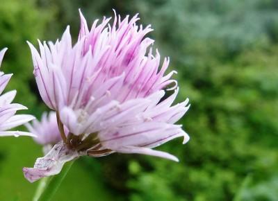 Blumensamen Bienenwiese